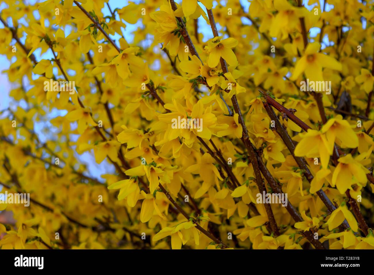 Forsythia Bushes Spring Yellow Flowers Of Forsythia Bush Stock
