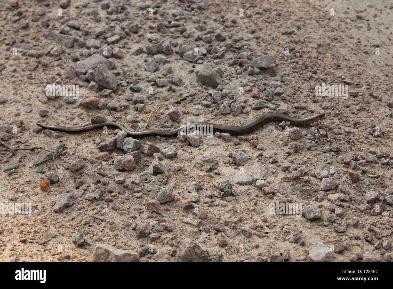 Anguis fragilis on a gravel road - Stock Image