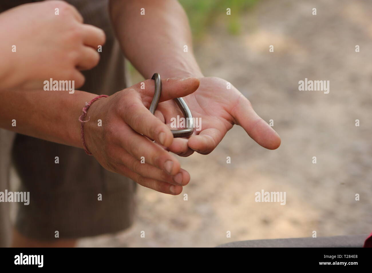 Someone holding an Anguis fragilis in their hands - Stock Image