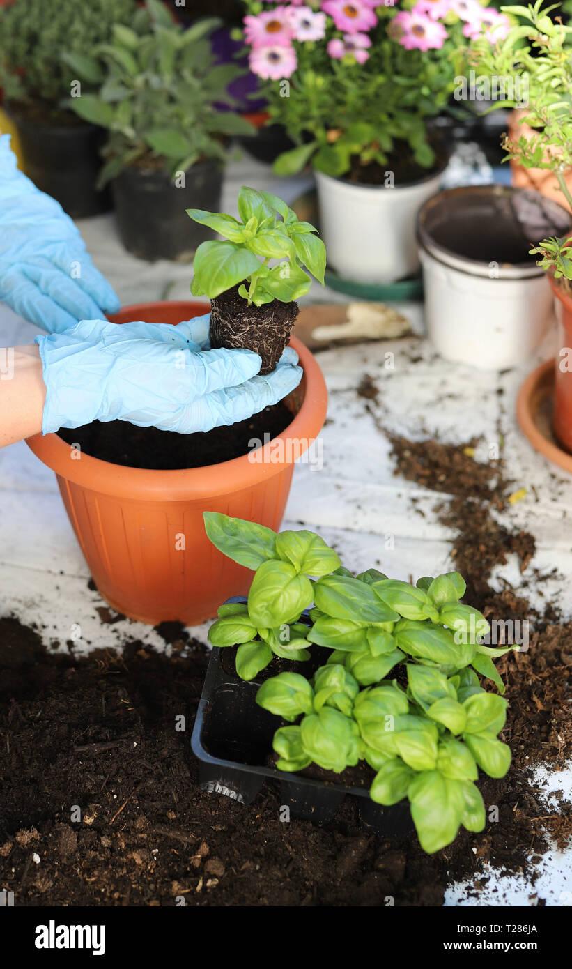 Hands woman planting aromatic plants Stock Photo