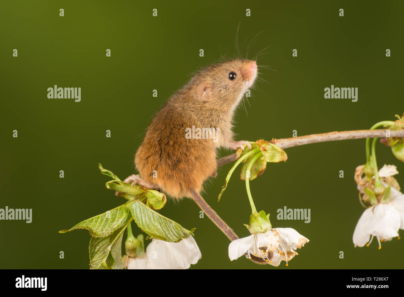 Harvest mouse (Micromys minutus), a small mammal or rodent species. Cute animal. - Stock Image