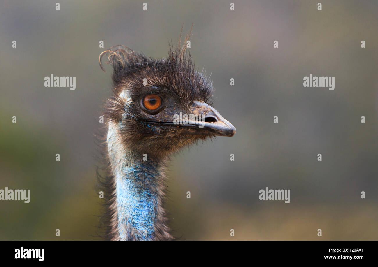 Australian Emu, Dromaius novaehollandiae, portrait showing head, beak, eye and neck. Stock Photo