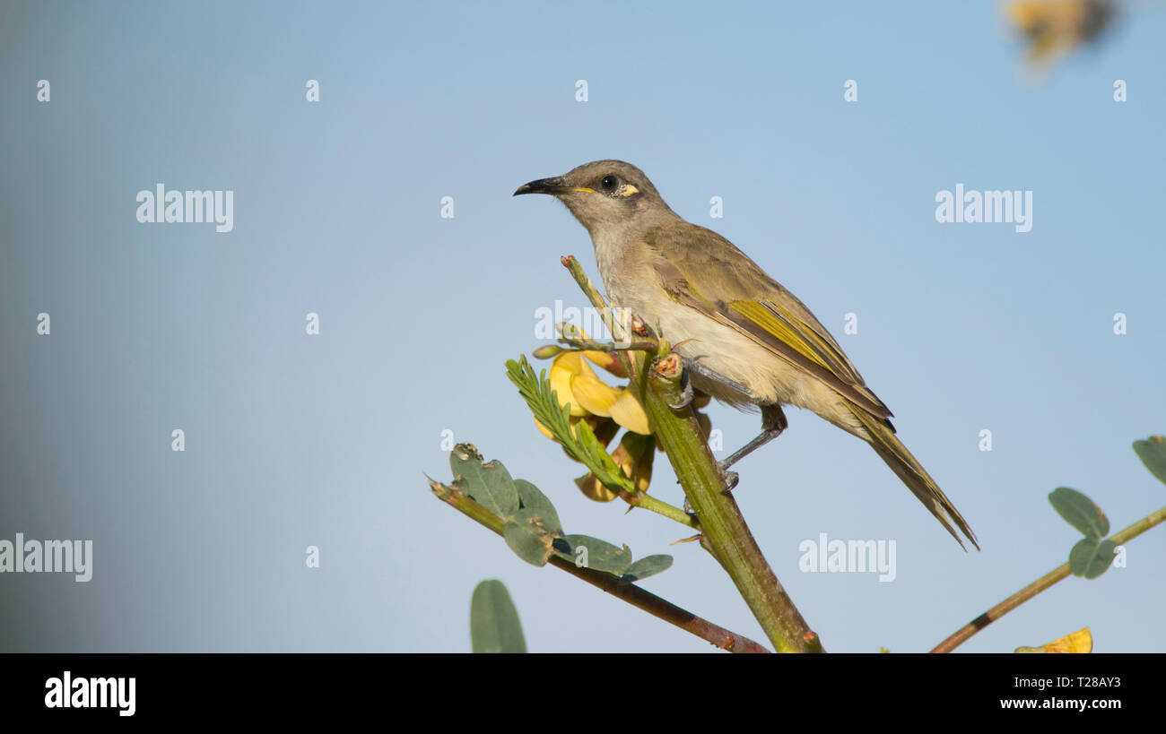 Brown Honeyeater, Lichmera indistincta, perched in a tree near Mount Isa, Western Queensland with blue sky background and copy space. - Stock Image