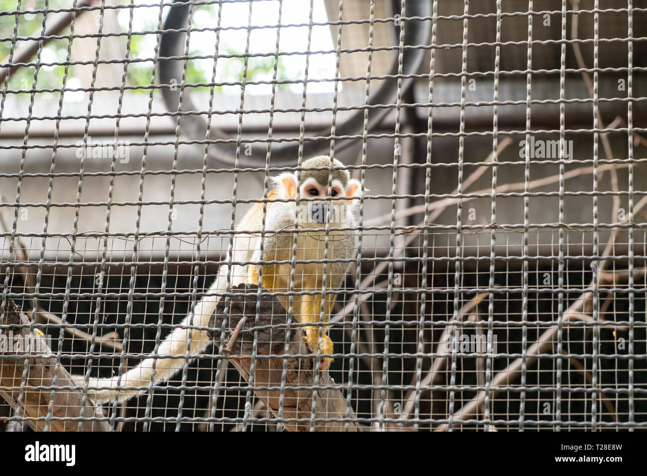 Squirrel Monkey hold timber in cage Stock Photo