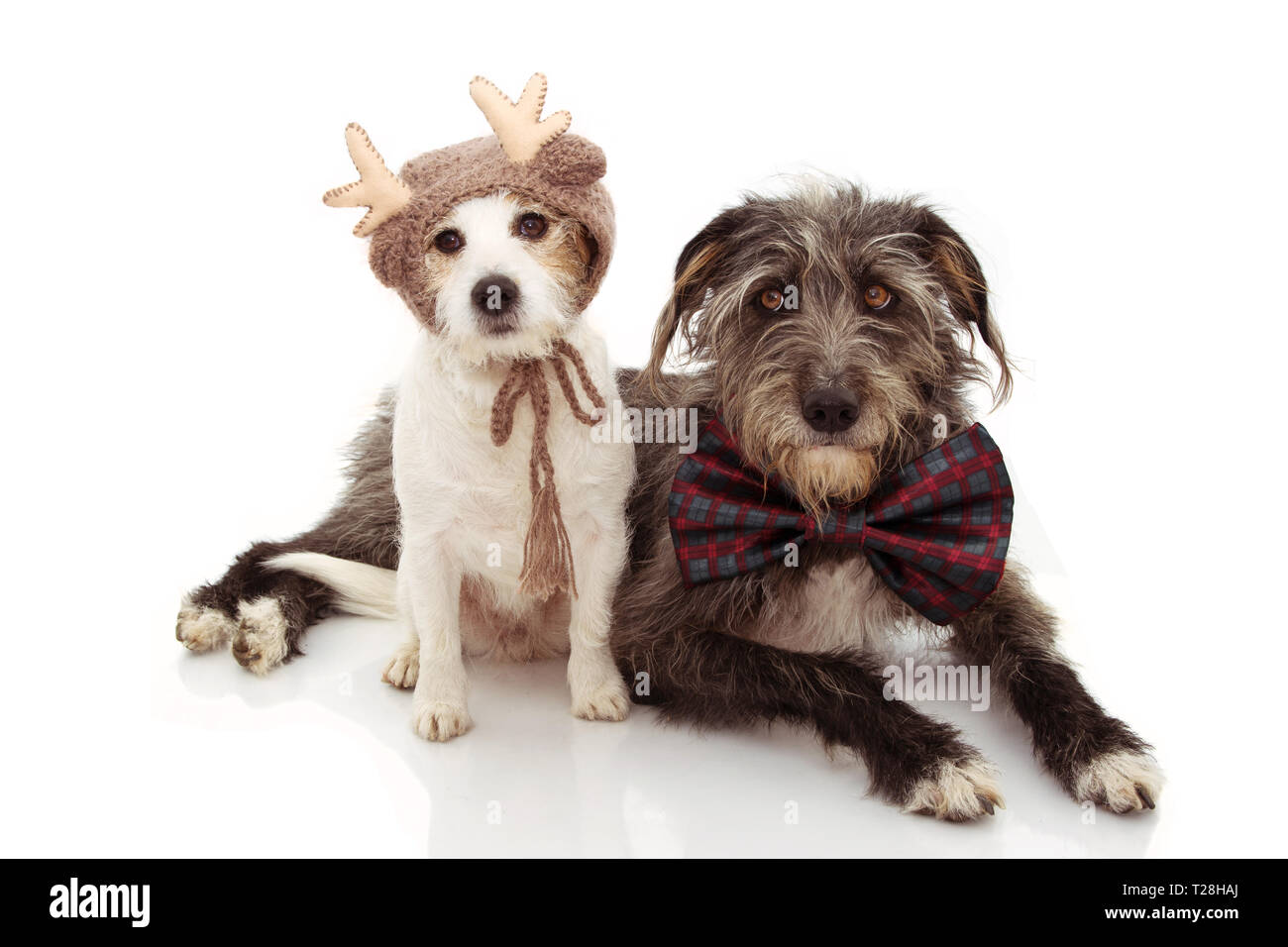 TWO DOGS CELEBRATING CHRISTMAS. JACK RUSSELL AND SHEEPDOG WEARING A REINDEER AND BOWTIE HOLIDAYS. ISOLATED ON WHITE BACKGROUND. - Stock Image