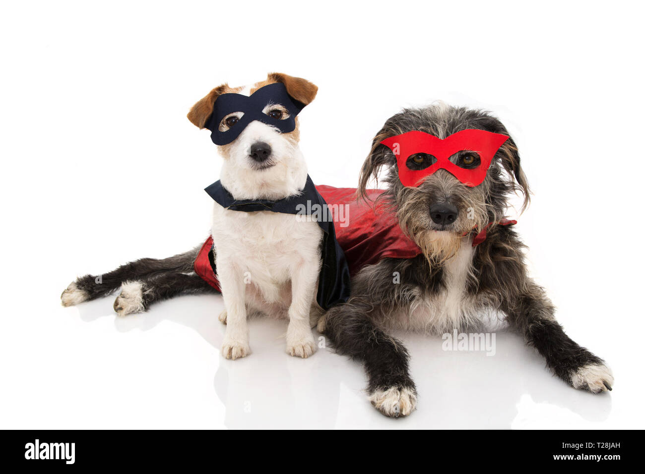 TWO DOGS SUPER HERO COSTUME. JACK RUSSELL AND PUREBRED WEARING A RED AND BLUE MASK AND A CAPE.  CARNIVAL OR HALLOWEEN. ISOLATED STUDIO SHOT AGAINST WH - Stock Image