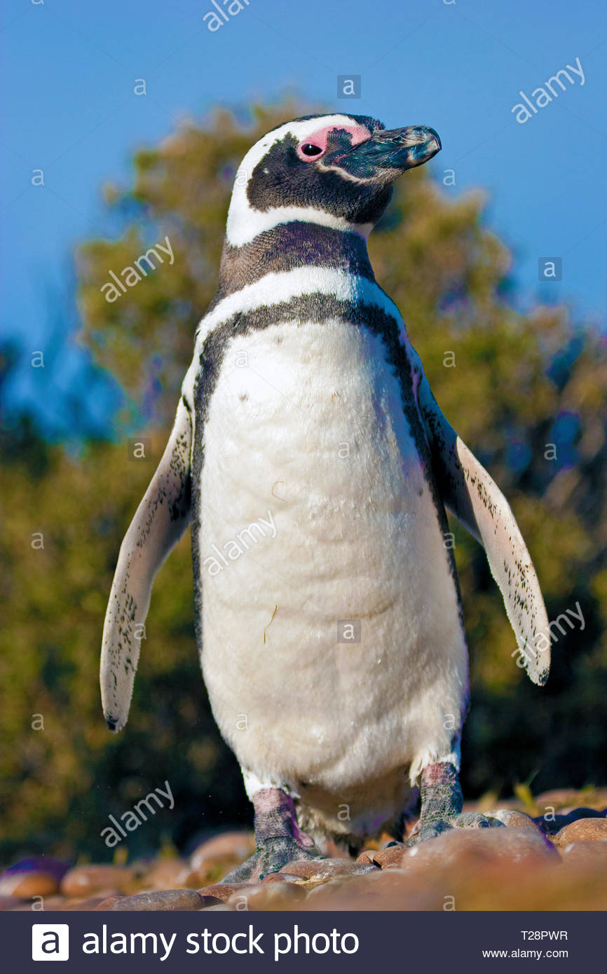 Magellanic penguins (Spheniscus magellanicus), at Puerto Deseado, Patagonia, Argentina Stock Photo