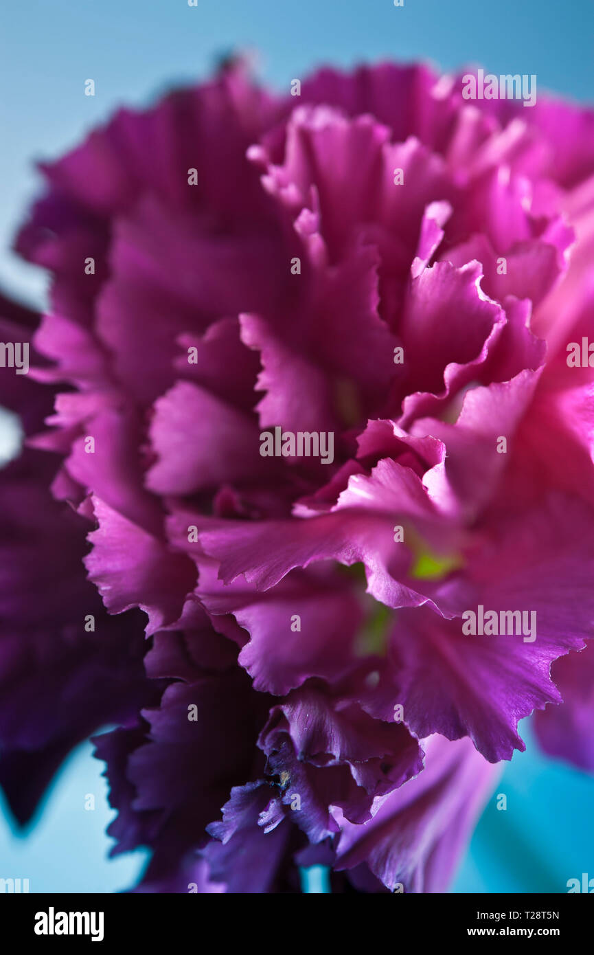 macro detail of a Carnation flower - Stock Image