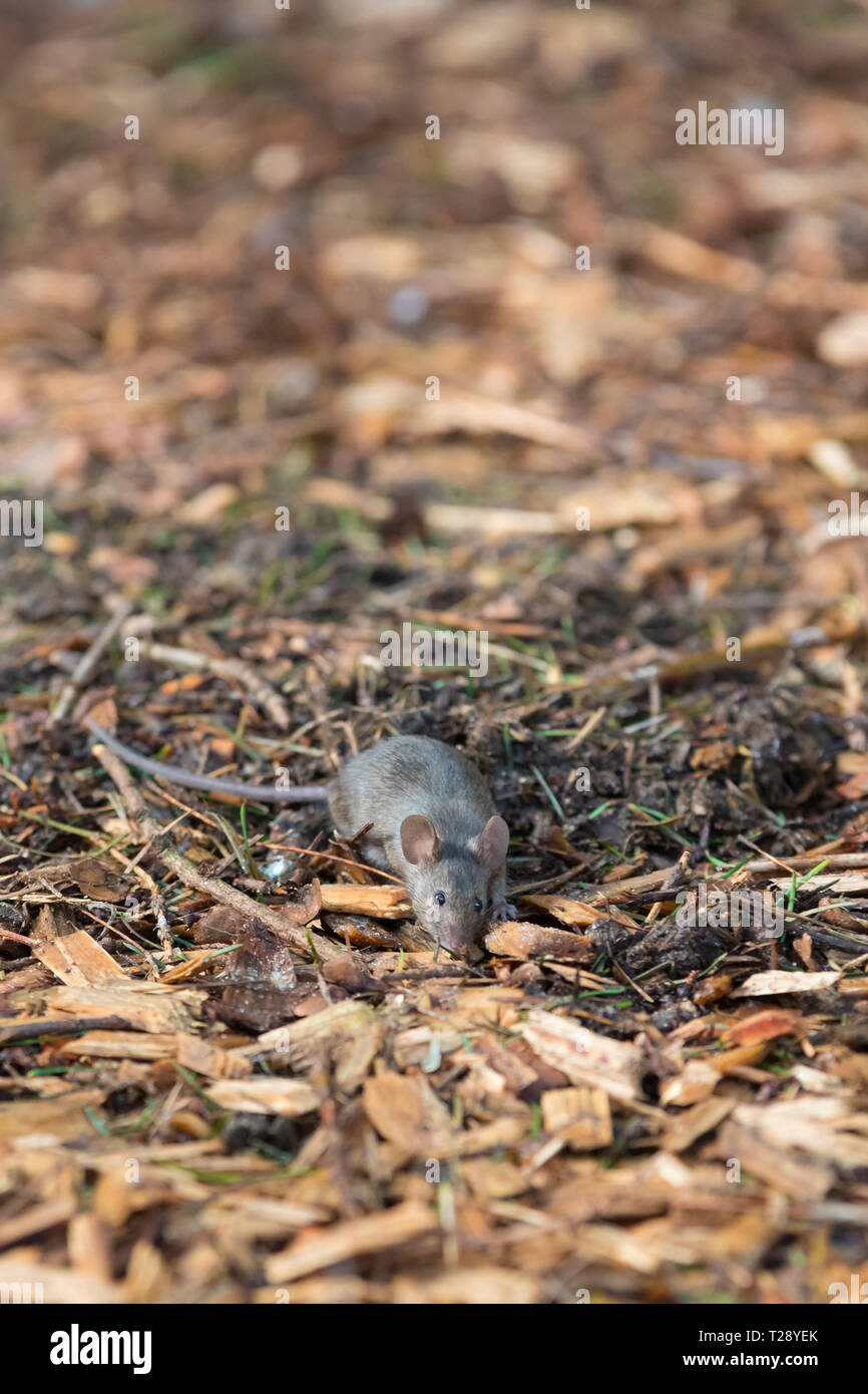 house mouse (Mus musculus) looking for food in urban environment - Stock Image