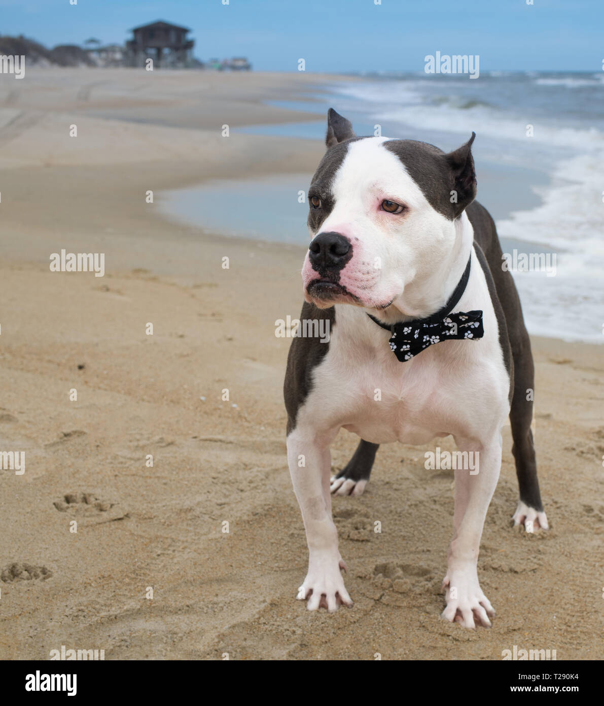 American Staffordshire Terrier wearing a bowtie on the beach - Stock Image