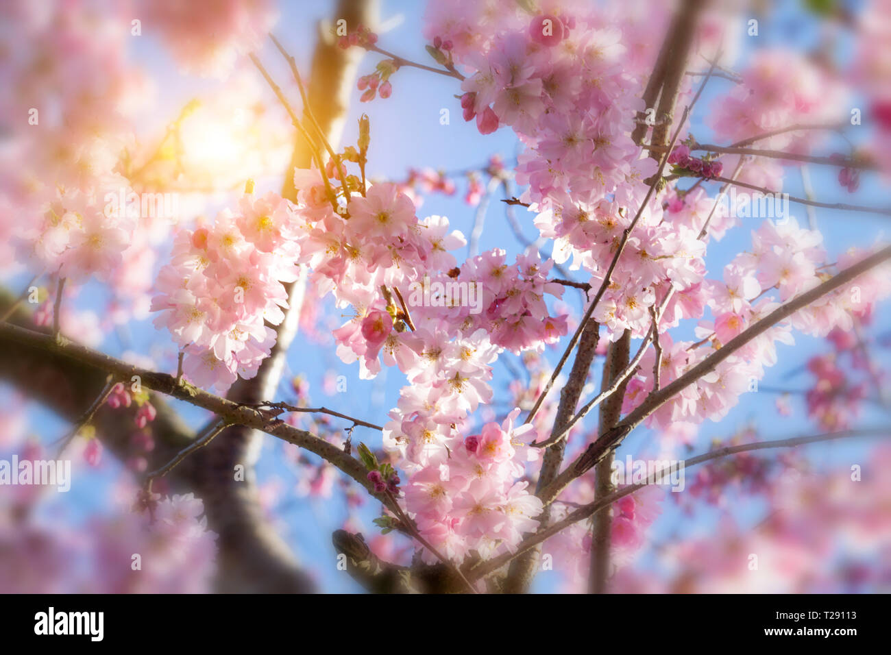 Cherry blossoms over blue sky background Stock Photo