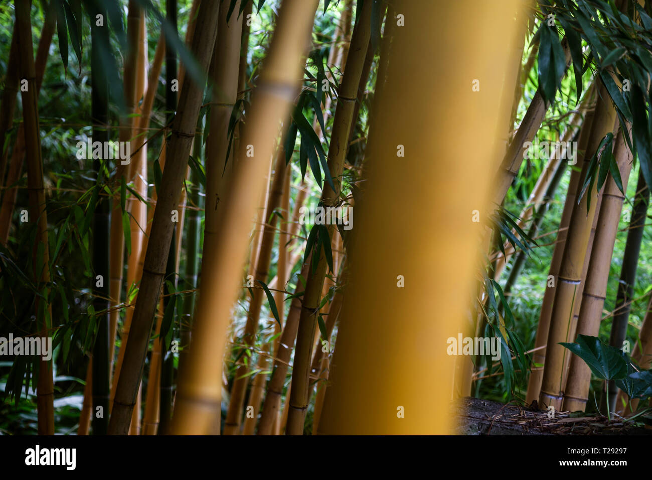 Mighty bambbo forrest, close up - Stock Image
