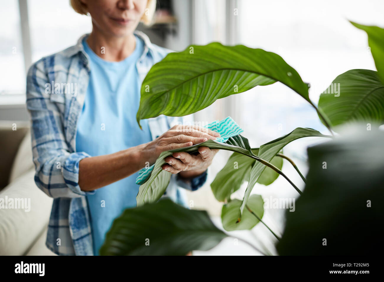 Cleaning leaves of houseplant Stock Photo