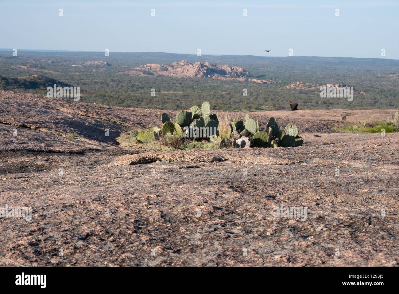 A cluster of Texas Prickly Pears cling on to the top of Enchanted Rock near Llano, Texas. USA. - Stock Image