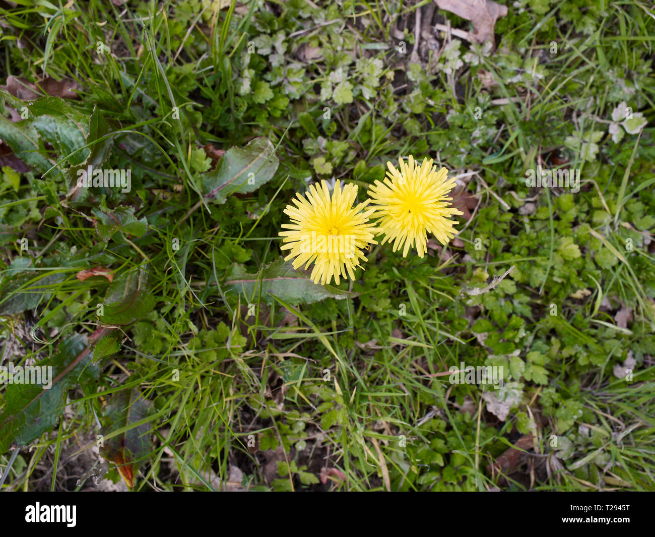 Two spring dandelions in grassland flowering - Stock Image