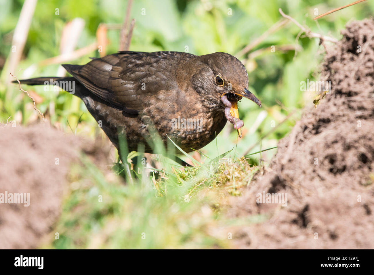 Stirlingshire, Scotland, UK - 31 March 2019: UK weather - a female blackbird swallows a large juicy worm as she takes advantage of  freshly dug soil in a Stirlingshire garden on a beautiful warm spring day Credit: Kay Roxby/Alamy Live News Stock Photo