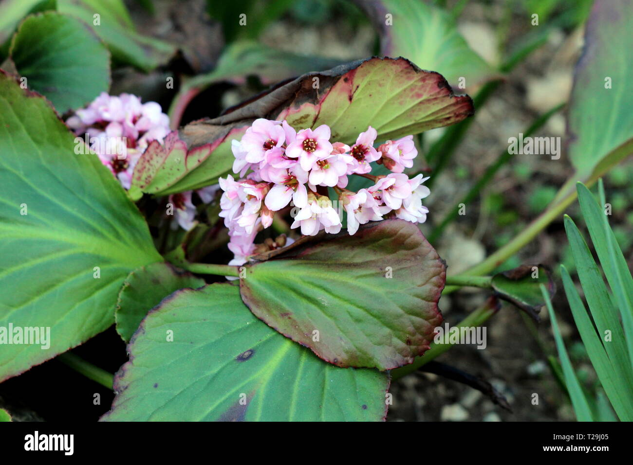 Bergenia Or Elephant Eared Saxifrage Or Elephants Ears Rhizomatous Evergreen Perennial Flowering Plant With Dense Bunch Of Light Pink Flowers Stock Photo Alamy