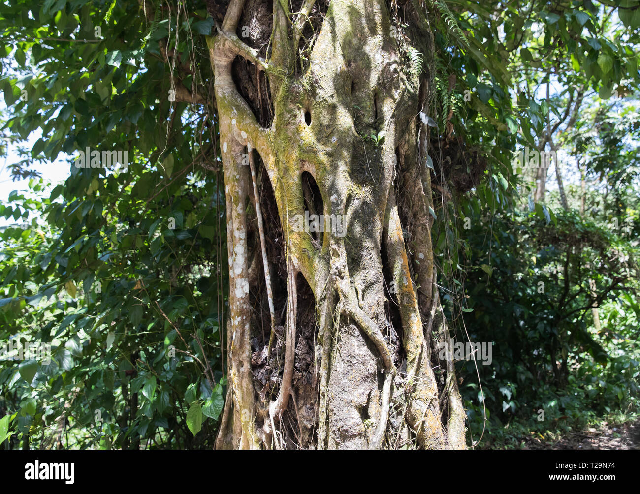 Tree roots wrapped around a trunk in the rainforest in St Lucia Stock Photo