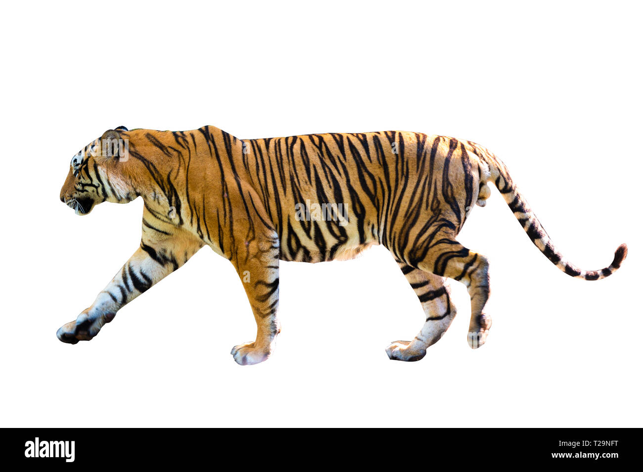 tiger White background Isolate full body - Stock Image