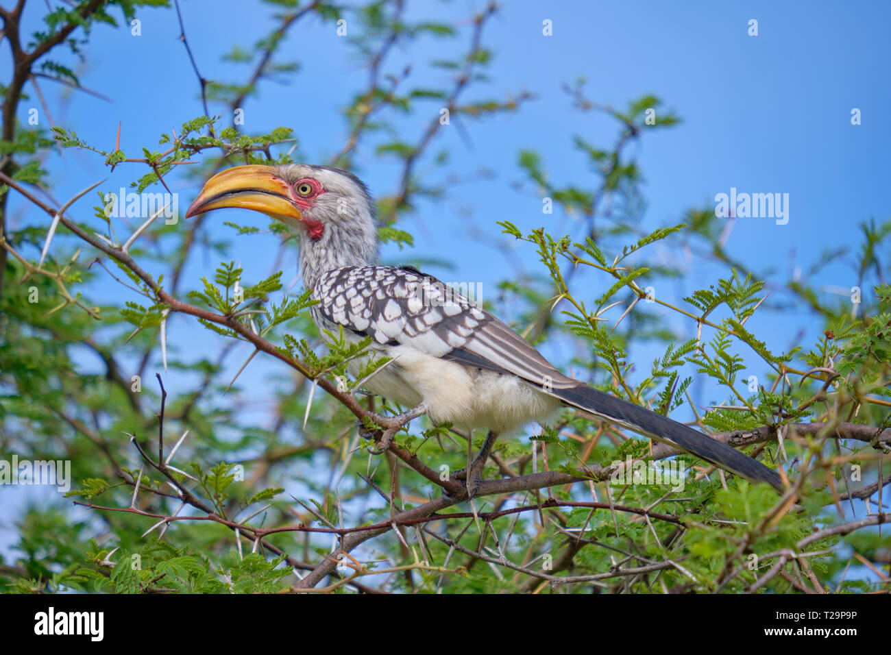 Southern yellow billed hornbill Tockus leucomelas adult perched in acacia tree Stock Photo