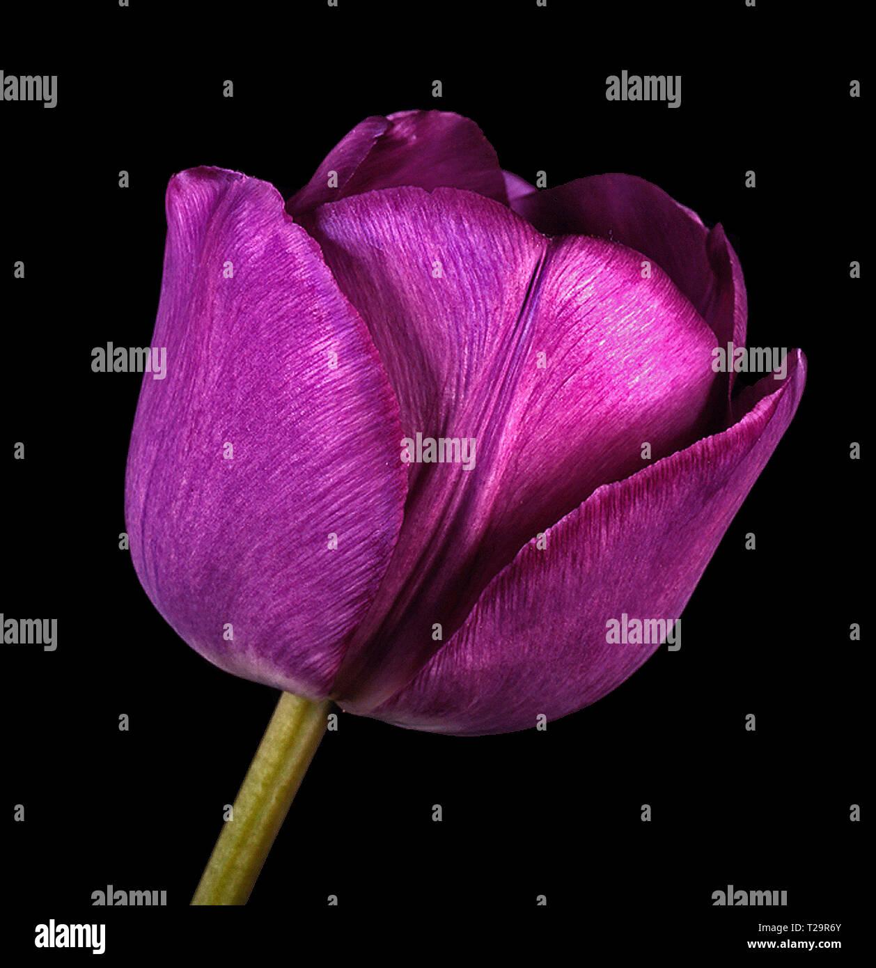 Close up studio portrait of an English Florists' Tulip 'Talisman' Stock Photo