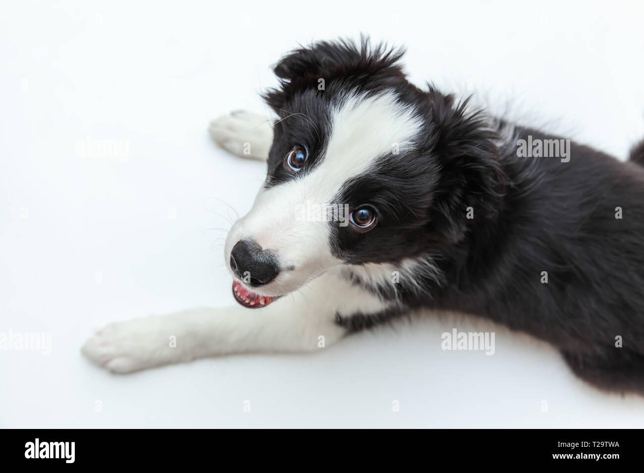 Funny studio portrait of cute smilling puppy dog border collie isolated on white background. New lovely member of family little dog gazing and waiting - Stock Image