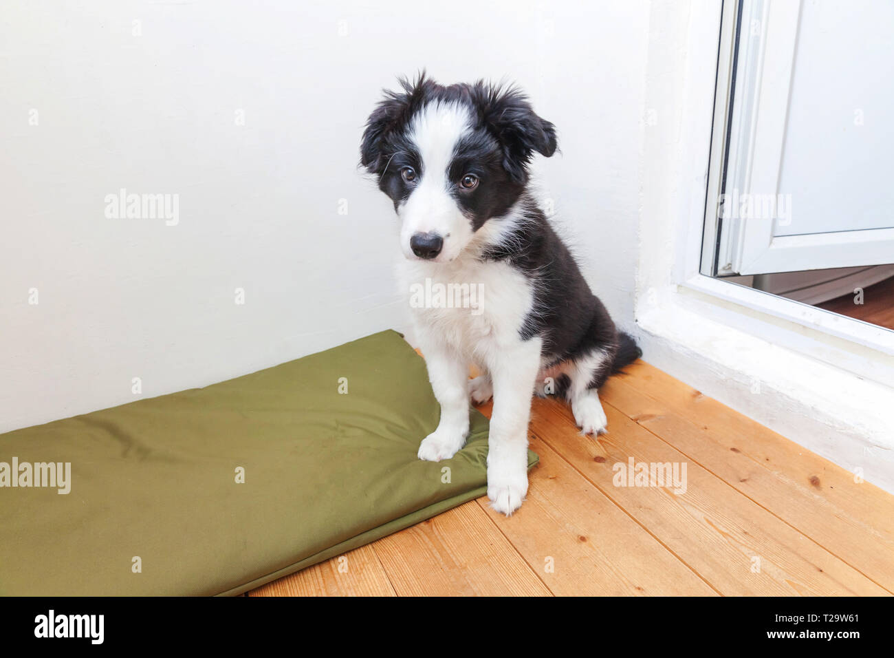 Funny portrait of cute smilling puppy dog border collie indoor. New lovely member of family little dog at home gazing and waiting for reward. Pet care - Stock Image