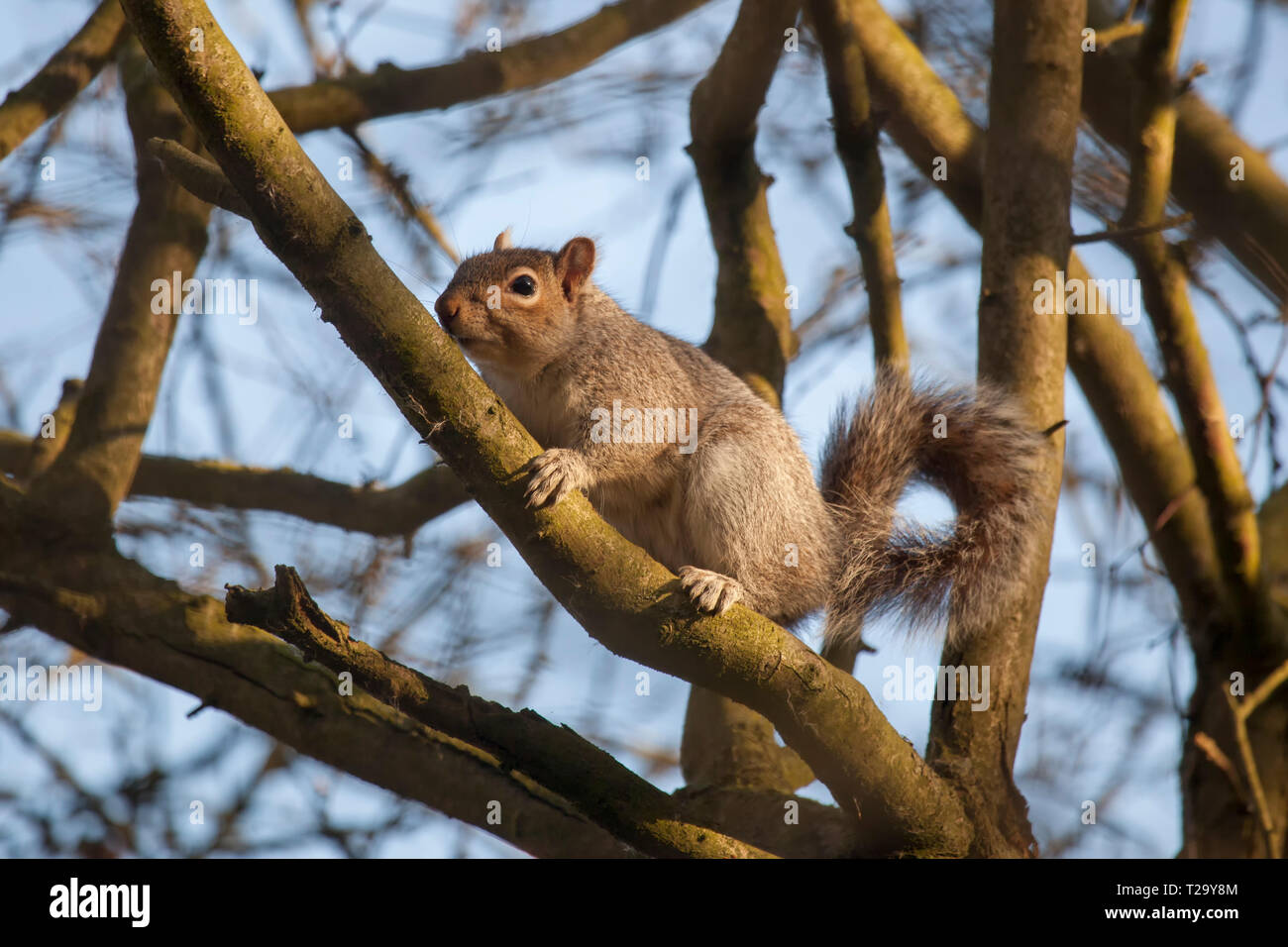 Grey squirrel climbing on branches of a tree in Winter Stock Photo