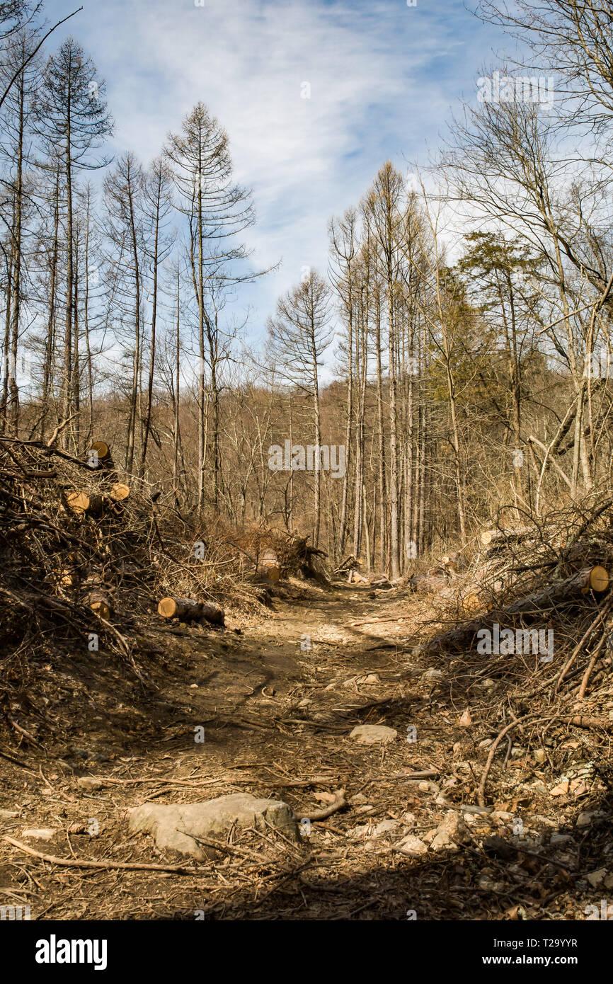 Habitat Loss caused by invasive wood boring beetles. - Stock Image