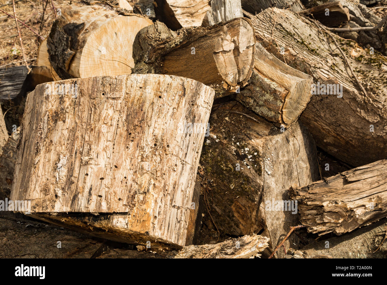 Firewood infested with Emerald Ash Boring Beetles - Stock Image