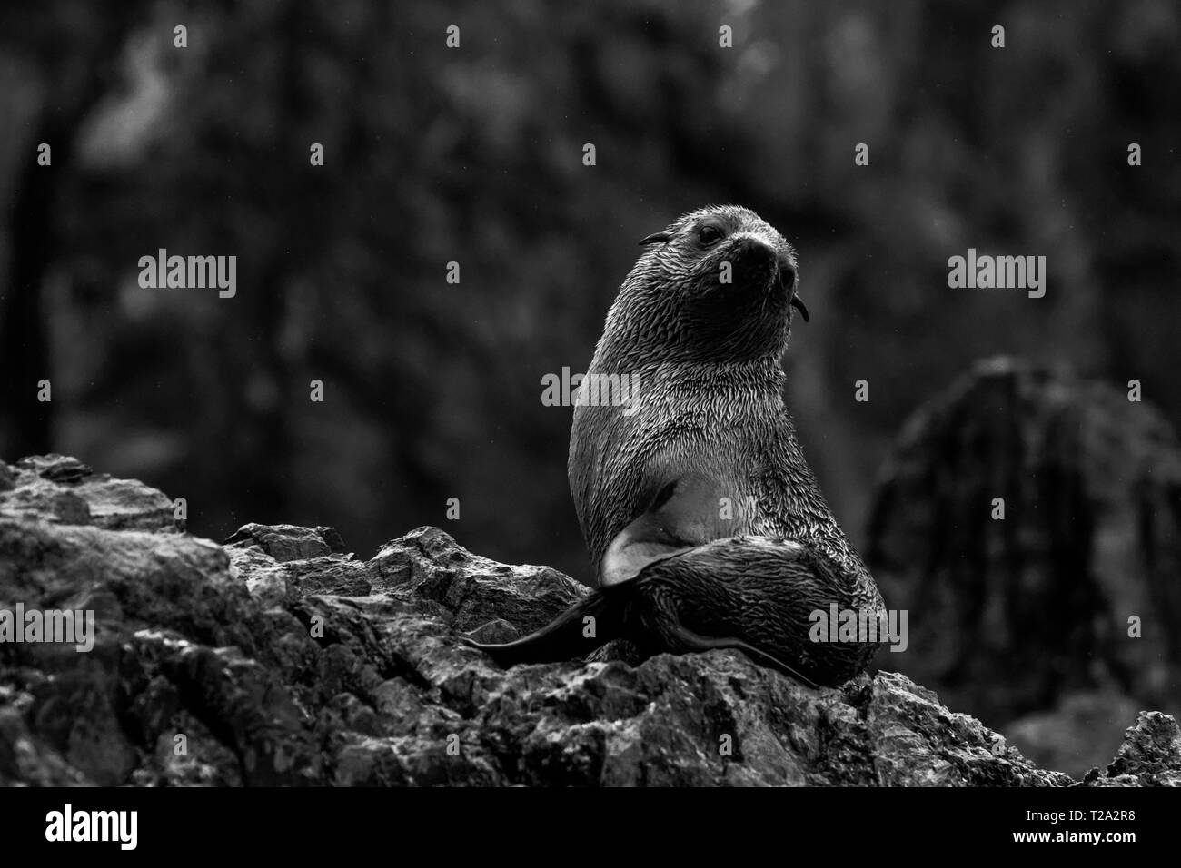 ohrenrobben/ eared seals - Stock Image