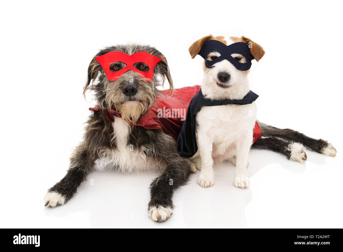 TWO FUNNY DOGS SUPER HERO COSTUME. JACK RUSSELL AND PUREBRED WEARING A RED AND BLUE MASK AND A CAPE. CARNIVAL OR HALLOWEEN. ISOLATED STUDIO SHOT AGAIN - Stock Image
