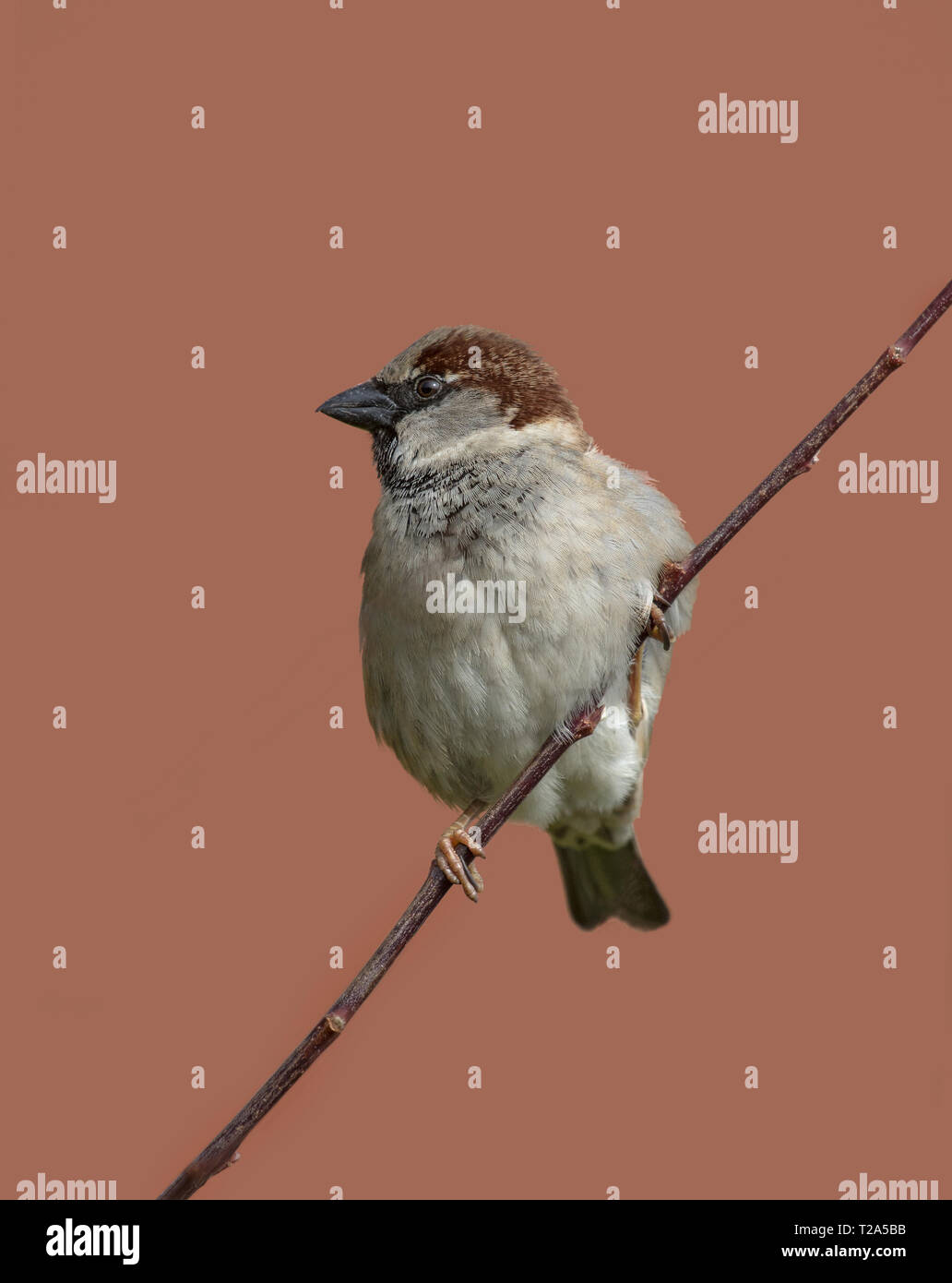 House Sparrow, passer domesticus, on wire, Lancashire, England, UK - Stock Image