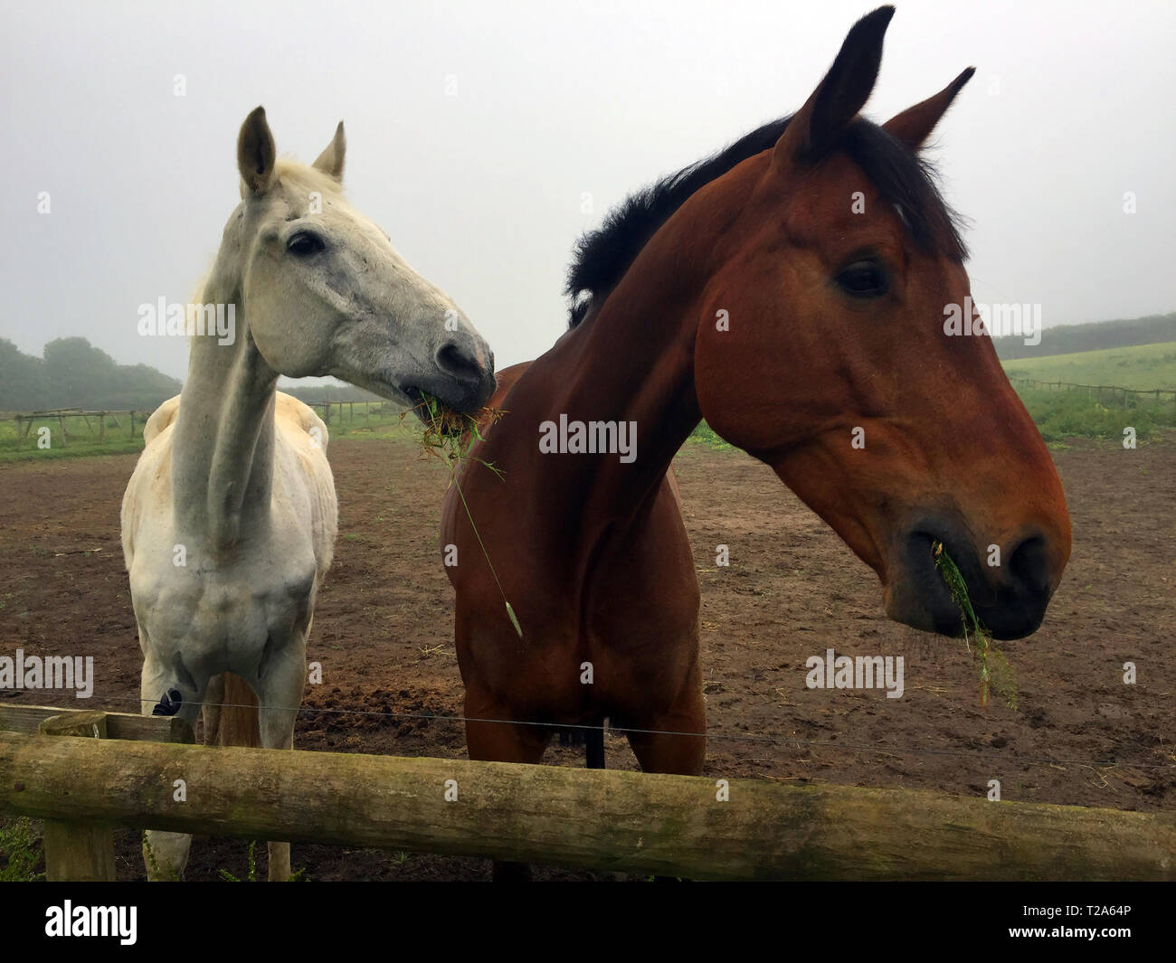brown,gray,horse,horses,eating,grass,and,looking over fence,with,ears,pricked,alert,interested,hopeful,England,UK, - Stock Image