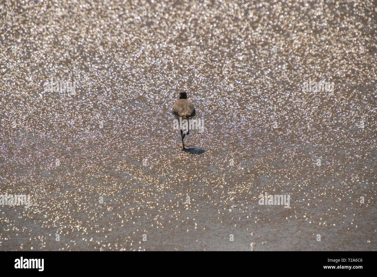 Sandpiper bird walking away in shallow water of the ocean on a beach Stock Photo