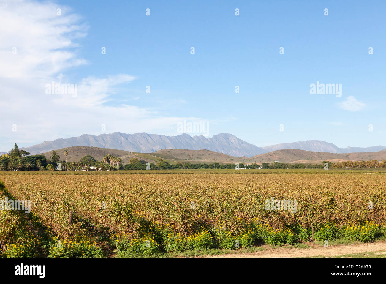 Scenic landscape of vineyards in the Robertson Wine Valley, Western Cape Winelands, Route 62, South Africa, with the Langeberg Mountains Stock Photo