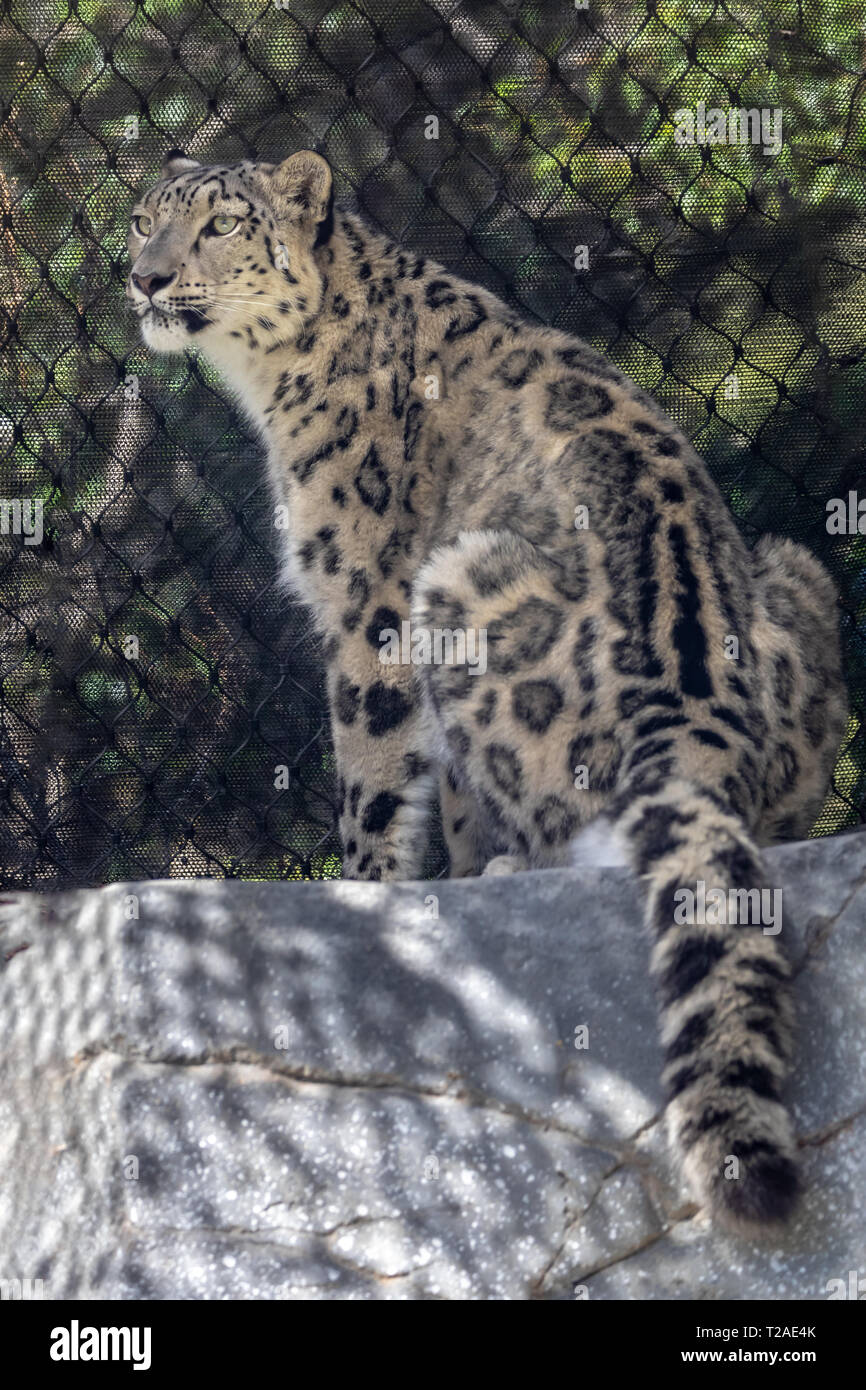 Snow Leopard at zoo Stock Photo