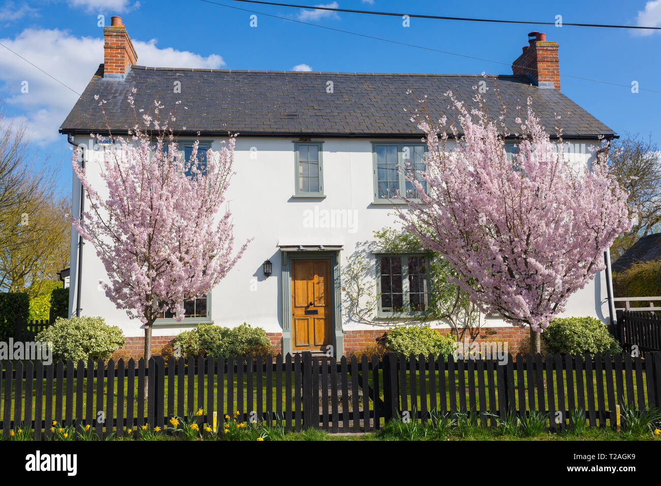 White country house with two cherry trees full of pink blossoms in the front garden in England, UK Stock Photo