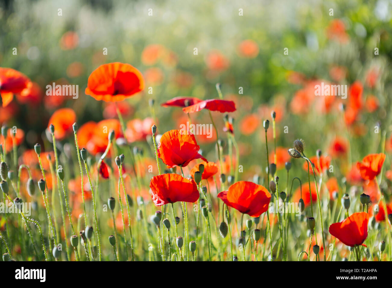 Red poppy field - Stock Image