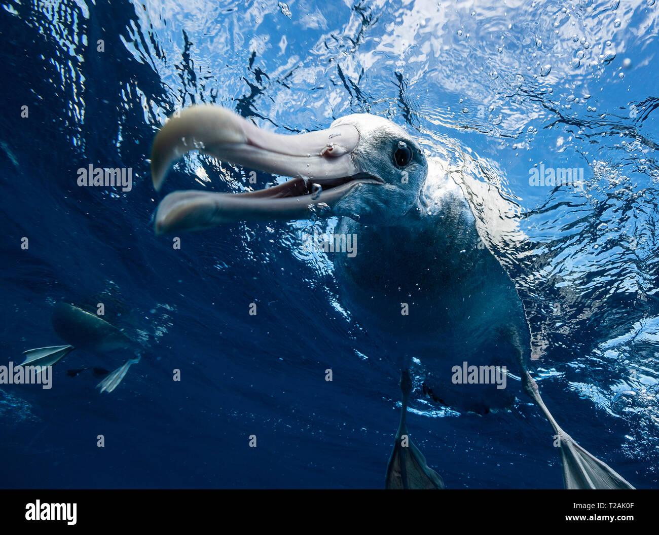 Antipodean albatross looking underwater, Pacific Ocean, North Island, New Zealand. - Stock Image