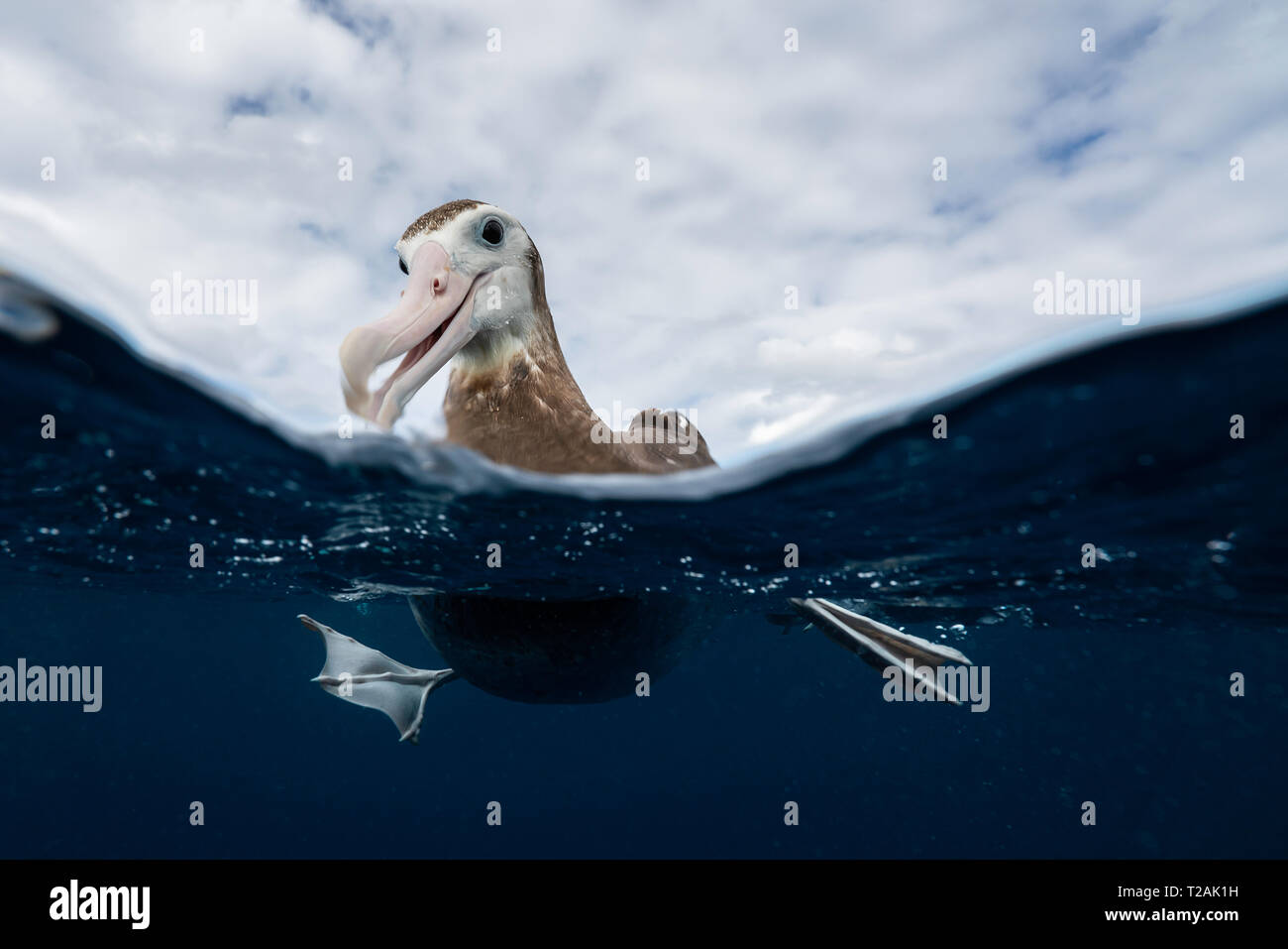 Split view of an Antipodean albatross resting on the water, Pacific Ocean, North Island, New Zealand. - Stock Image