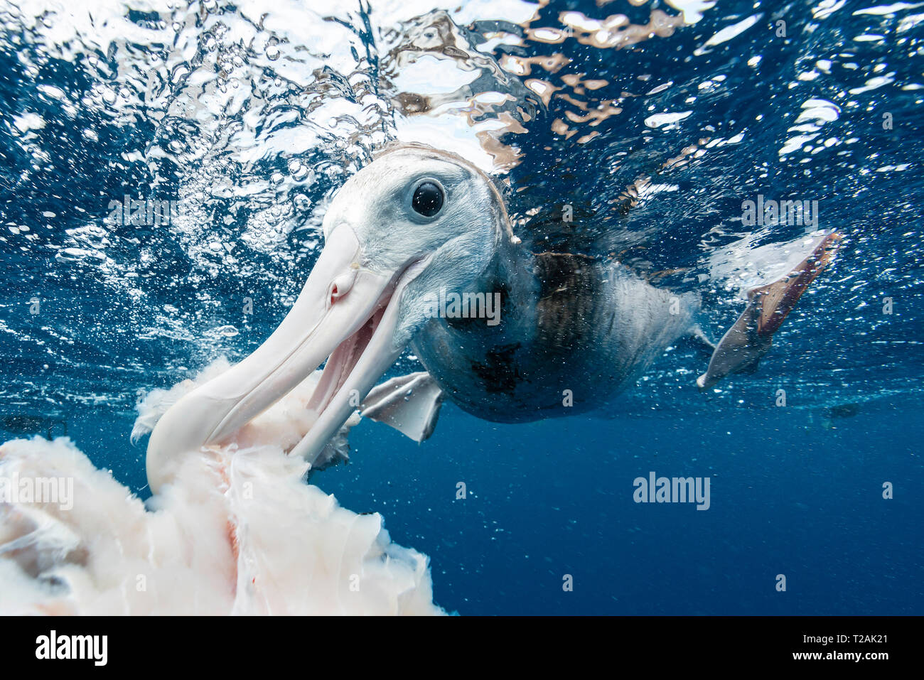Antipodean albatross feeding on fish scraps from local fishermen, Pacific Ocean North Island, New Zealand. - Stock Image