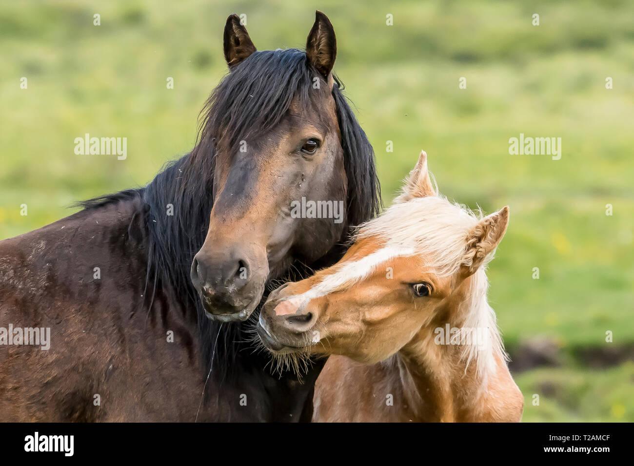 Wild/feral horses live in the Rocky Mountains of Canada in the province of Alberta.  This stallion and mare parade with their young foal in the lush g - Stock Image