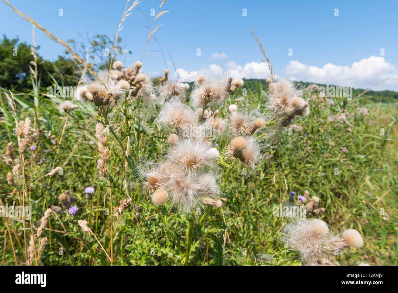 Creeping Thistle (Cirsium arvense) plant seeds in Summer in the UK. - Stock Image