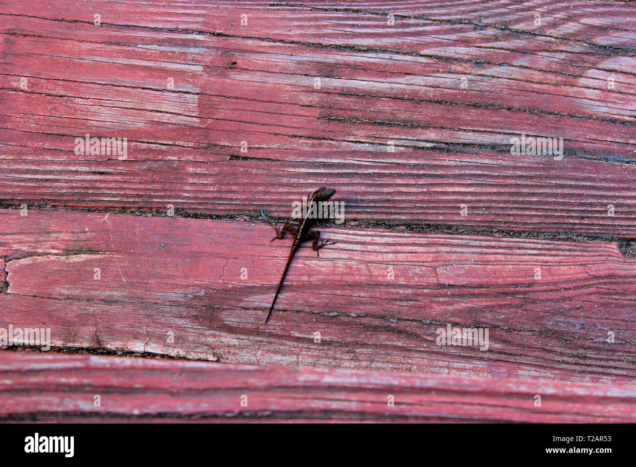 Small lizzard on red wood in Puerto Rico Stock Photo
