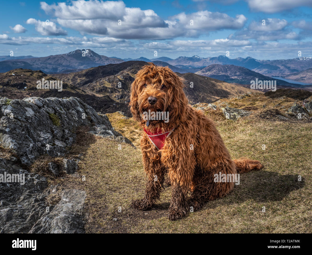 Young cockapoo puppy sitting on the summit of Ben Venue, Trossachs National Park in Highlands of Scotland - Stock Image