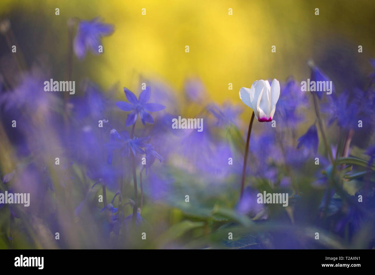 Selective focus on a Single Persian Violet (Cyclamen persicum) with a blurred purple background, Photographed in Israel in February - Stock Image