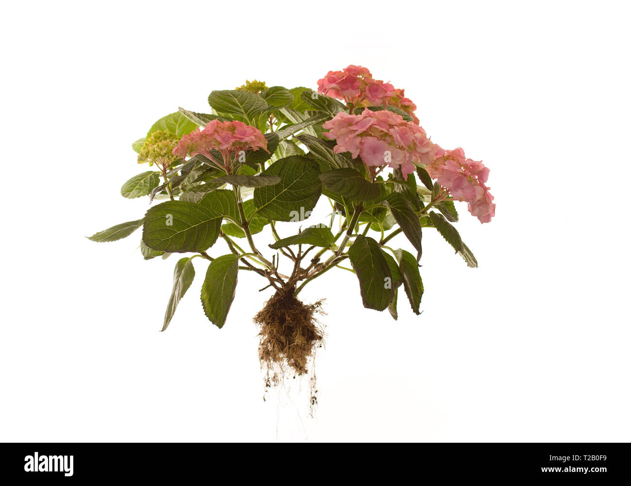 Whole Hydrangea Macrophylla Rosita on isolated white background - Stock Image