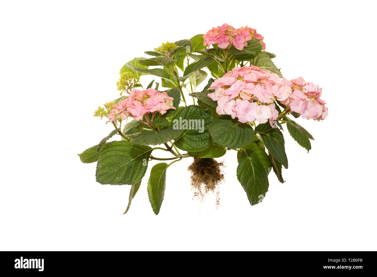 whole flowering hydrangea macrophylla rosita on isolated white background - Stock Image