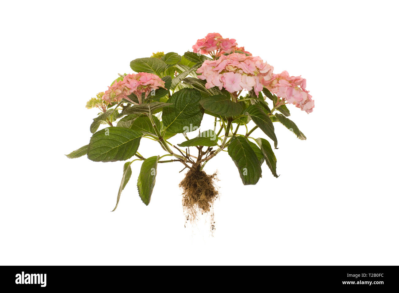 Whole Hydrangea Macrophylla Rosita Plant with roots on ilsoted white background - Stock Image
